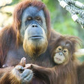 orangutans has been a key feature of palm oil protest campaigns